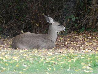 2011-10-27-deer-02